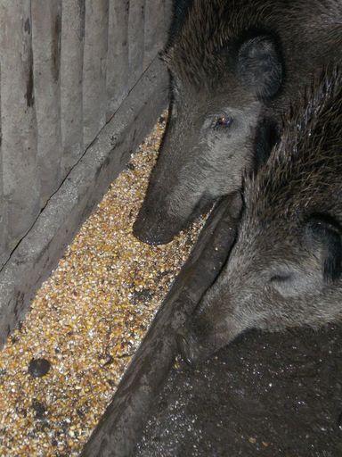 schweine die eicheln fressen